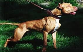 american pitbull terrier types dogs cats canines felines