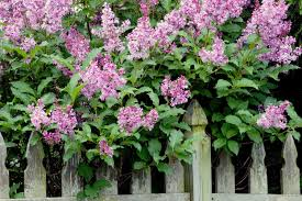 how and when to prune lilacs