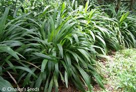 palm grass shade tolerant tropical understory plant grasses