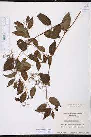 small plant supports herbarium specimen details isb atlas of florida plants