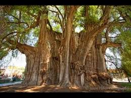 top 10 highest trees in the world