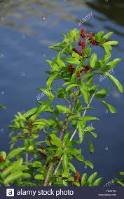 native brazilian plants brazilian pepper tree stock photos u0026 brazilian pepper tree stock