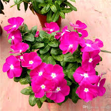 vinca flower purple madagascar periwinkle vinca flower 100 seeds easy growing