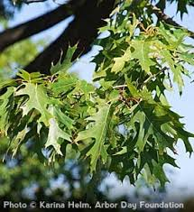 52 best oak trees images on garden trees oak tree and