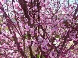 blooming plum tree solidaria garden