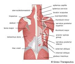lower back strain information sinew therapeutics