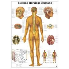 Anatomy Of Human Body Organs Shop For Anatomical Charts Of Organs And Bodily Systems