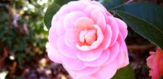 camellia flowers how to grow camellias today s homeowner