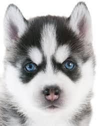 siberian husky eye colors