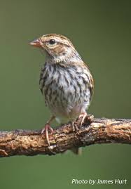 Sparrow by Tennessee Watchable Wildlife Chipping Sparrow Habitat Grassland