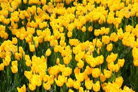 Tulip Field Beautiful Yellow Tulip Field In Spring Close Up Stock Photo