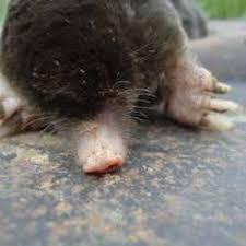 Moles Blind Moles Voles Mysterious Holes Dave U0027s Garden