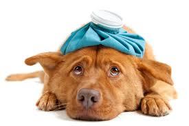 Sick Puppy Meme - parvovirus foothills animal hospital foothills animal hospital