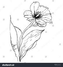 vector tulip sketch blooming flower leaves stock vector 589685942