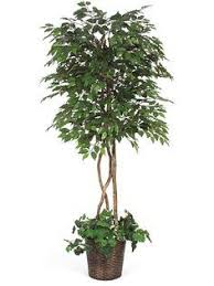 artificial fig trees are often the customer s choice