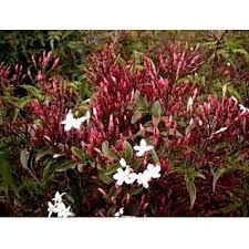 Fragrant Jasmine Plant - jasmine plant jasminum polyanthum fragrant