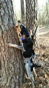 bluetick coonhound climbing tree 110889077 jpg