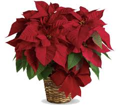 Christmas Flowers Christmas Flowers And Festive Gifts