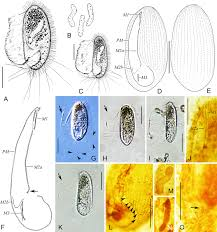 The 5 Biggest Controversies In Pok 233 Mon History - morphology and phylogeny of three pleuronema species ciliophora