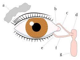 Eye Ducts Anatomy Tears Wikipedia