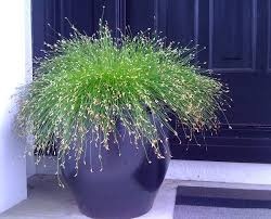 of best ornamental grasses for growing in containers 6