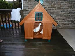and the duck house comfy for 3 indian runner ducks probably