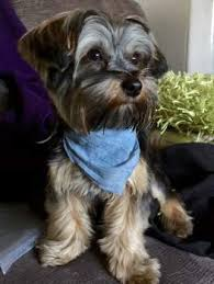 male yorkie haircuts male vs female yorkies yorkshire terrier information