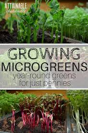 get fresh how to grow microgreens indoors for year round salads