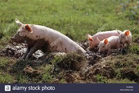 domestic pig piglets juvenile wallow stock photo