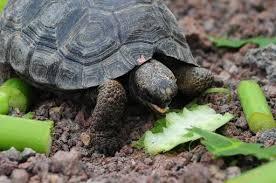 belgian shepherd rescue south africa belgian shepherd dog sniffs out s africa u0027s rare tortoise