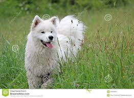 american eskimo dog in summer samoyed in summer stock photo image 55486894