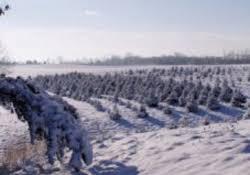 Christmas Tree Farm Va - northern virginia christmas tree farms choose and cut christmas