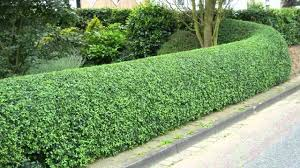 Bushes For Landscaping Garden With Bushes And Privet Hedges Landscaping With Privet