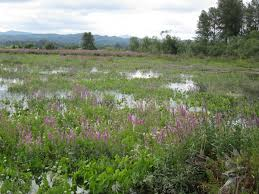 native pond plants washington state noxious weed control board
