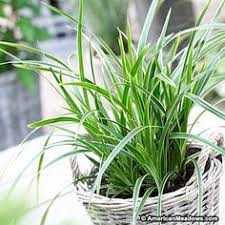 best ornamental grasses for containers and how to grow them сады