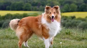 australian shepherd off leash 8 dog breeds that do best off leash dublin dog blog