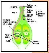 Reproduction In Flowering Plants - reproduction in plants biology encyclopedia cells body