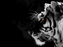 n white tiger