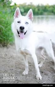 american eskimo dog lab mix aloha american eskimo dog u0026 husky mix u2022 young u2022 female