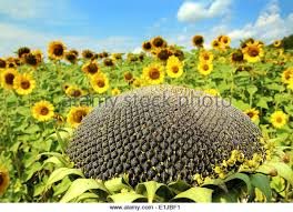 ripe sunflower stock photos u0026 ripe sunflower stock images alamy