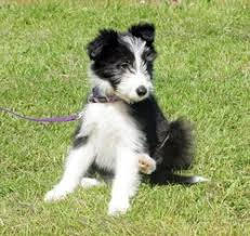 bearded collie x terrier new arrivals dryburgh abbey t g