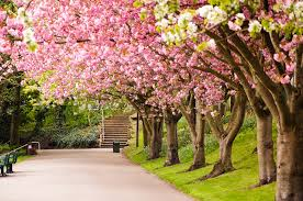 image england sakura united kingdom sheffield nature avenue flowers