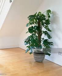 monstera deliciosa foliage plant in attic room on wooden floor