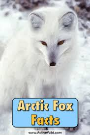 best 25 fox facts ideas on pinterest fox foxes and facts about