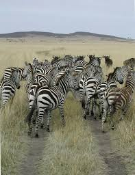 facts on zebras