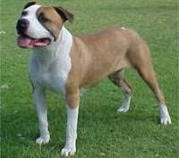 american pitbull terrier in india too kool doggies 20 dog breeds that make great running companions