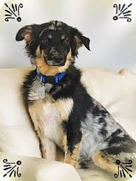 australian shepherd cattle dog mix chandler az labrador retriever australian cattle dog mix meet