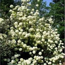 Flowering Shrubs For Partial Sun - 25 trending snowball viburnum ideas on pinterest flowering