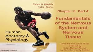 anatomy u0026 physiology chapter 11 part a nervous system u0026 nervous