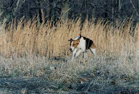 bluetick coonhound name origin 5 things you didn u0027t know about the treeing walker coonhound